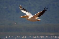 Pelikan am Lake Nakuru