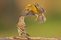 Grünfinken Palaver