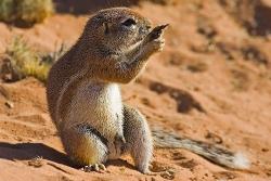 Kalahari-Ziesel