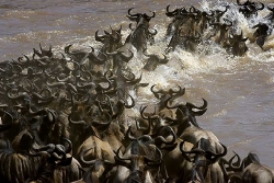 Gnu Migration Kenia